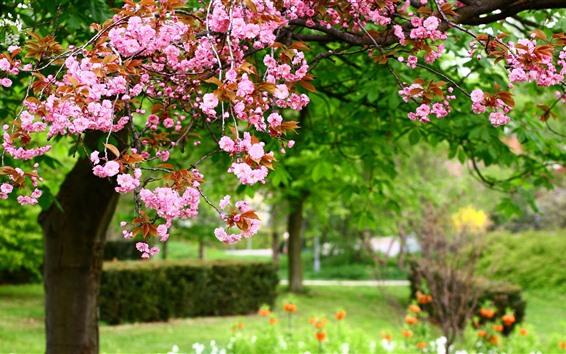 Wallpaper Sakura bloom, spring, park