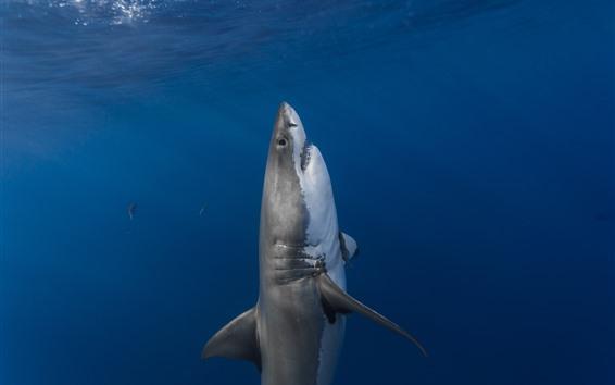 Papéis de Parede Tubarão, mar azul, subaquático