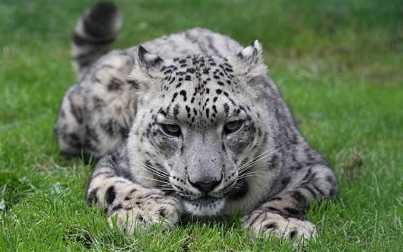 Wallpaper Snow leopard, grass, rest, face