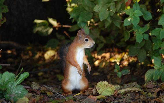 배경 화면 다람쥐 서, 잎