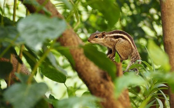 Wallpaper Squirrel, tree, leaves