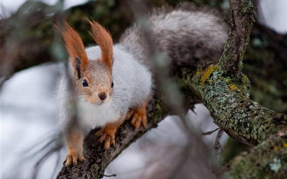 Wallpaper Squirrel, tree, tree branch