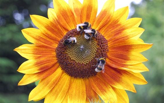 배경 화면 해바라기, 꿀벌, 곤충, 여름
