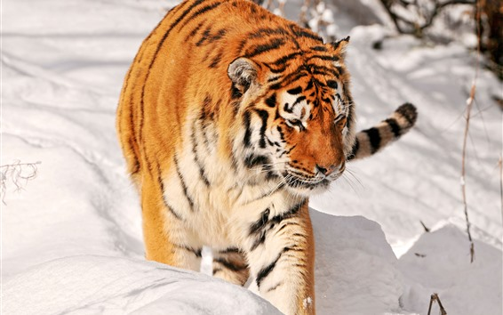 Wallpaper Tiger walking in the snow, cold winter