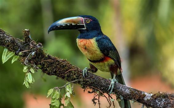 Papéis de Parede Tucano, penas coloridas, galho de árvore