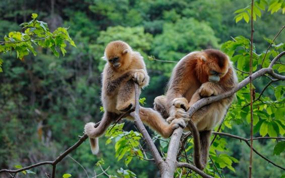 Papéis de Parede Dois macacos dourados, árvore, folhas verdes