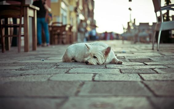 Обои Белый пес отдыха, улица