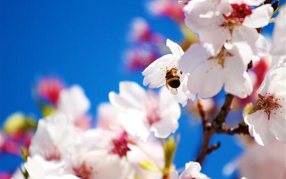 Papéis de Parede Sakura branco, pétalas, abelha, nebulosa
