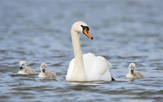 Papéis de Parede Família branca da cisne, lago