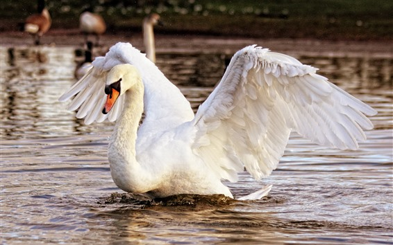 Wallpaper White swan, open wings, lake, water splash