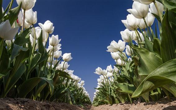 Wallpaper White tulips, flowers field, blue sky