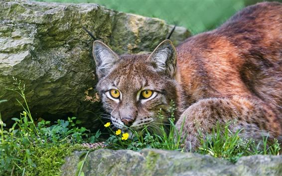 Wallpaper Wildcat, lynx, yellow eyes, front view