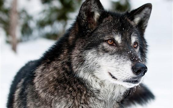 Papéis de Parede Lobo, face, neve, inverno, vida selvagem