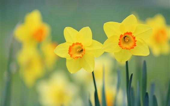 배경 화면 노란 수 선화, 꽃잎, 흐릿한