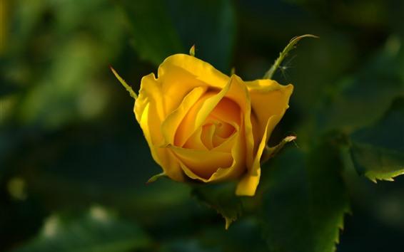 Papéis de Parede Amarelo levantou-se, pétalas, folhas, nebulosa