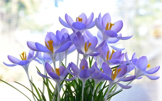 배경 화면 아름 다운 보라색 crocuses 꽃
