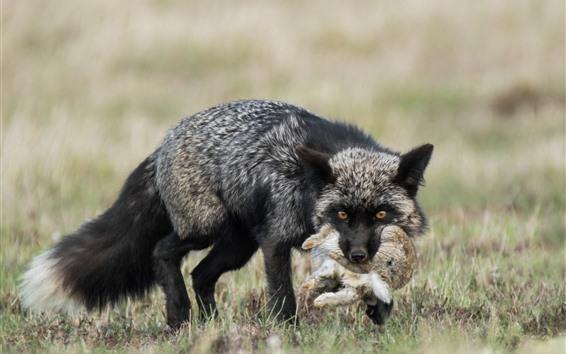 Papéis de Parede Raposa-preta caçar um coelho
