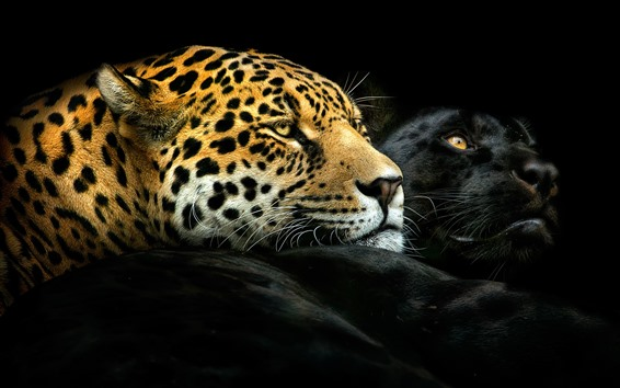 Wallpaper Black panther and leopard