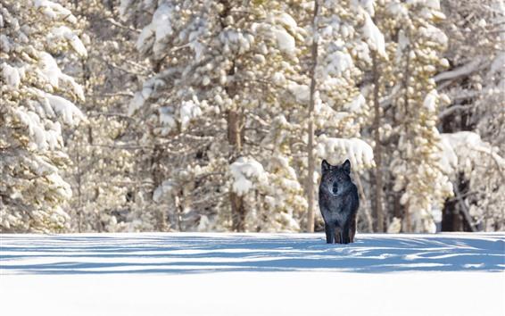 Papéis de Parede Lobo preto, neve, árvores, inverno