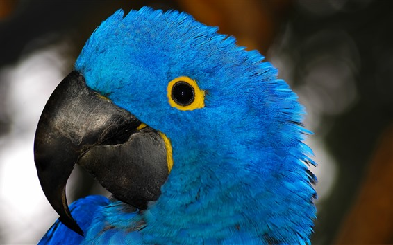 Wallpaper Blue feather parrot, head, eye