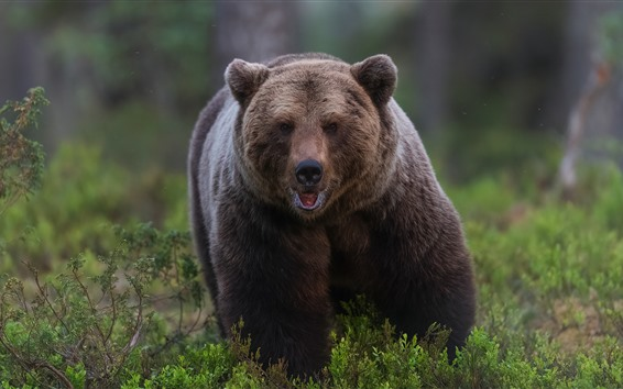 Wallpaper Brown bear front view