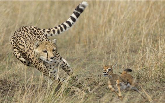 Wallpaper Cheetah hunting deer, speed