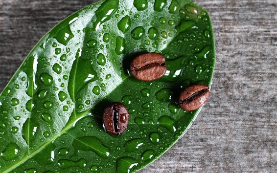 Wallpaper Coffee beans, green leaf, water droplets