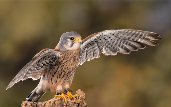 Papéis de Parede Asas abertas do falcão bonito