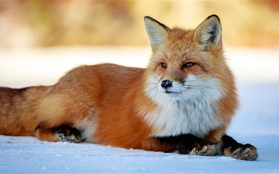 Papéis de Parede Descanso bonito da raposa, neve