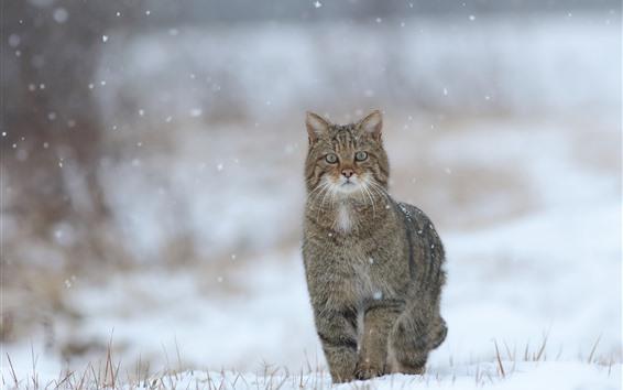 배경 화면 귀여운 새끼 고양이, 눈 덮인, 겨울