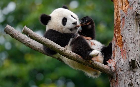 Обои Симпатичные панды играют в дереве
