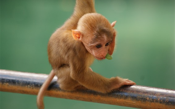 Papéis de Parede Macaco pequeno bonito