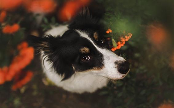Wallpaper Dog look up, head, eyes, look, hazy background