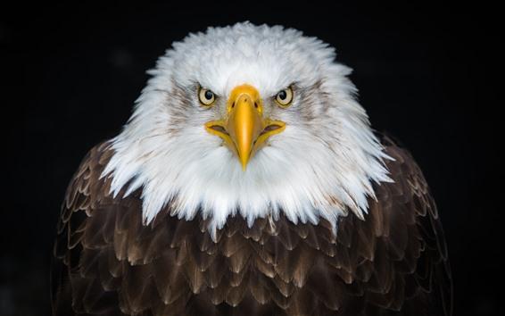 Обои Орел вид спереди, белые и коричневые перья, клюв, глаза