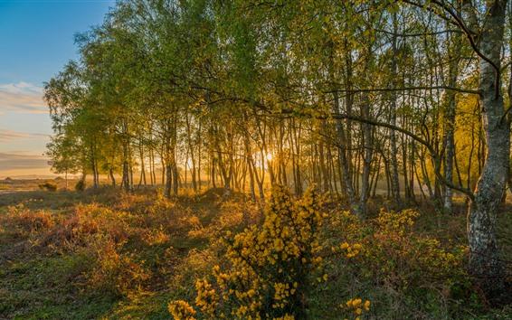 Wallpaper England, dawn, birch, trees, sunshine