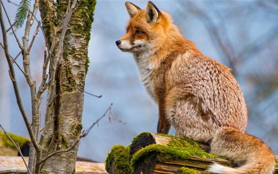 Papéis de Parede Fox sente-se no coto