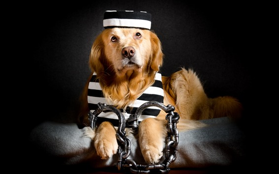 Wallpaper Funny dog, prisoner, chain