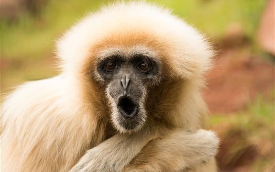 Papéis de Parede Macaco peludo, rosto surpreso