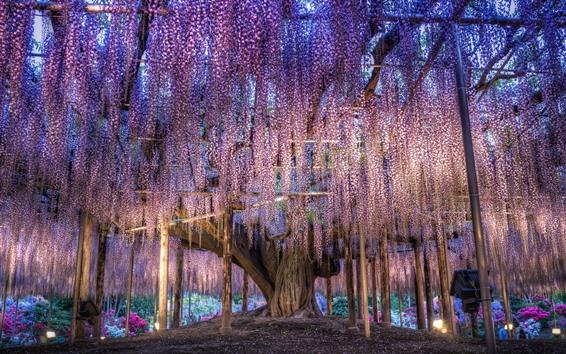 Wallpaper Japan, beautiful wisteria, purple flowers