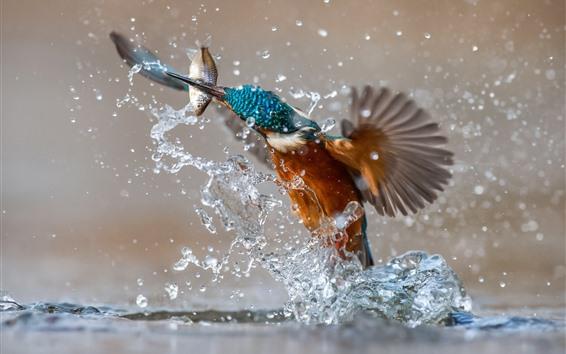 壁紙 キングフィッシャーキャッチ魚、水しぶき、瞬間