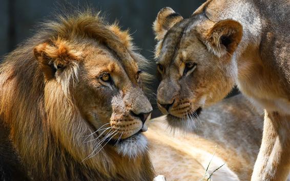 Papéis de Parede Amor, leão e leoa