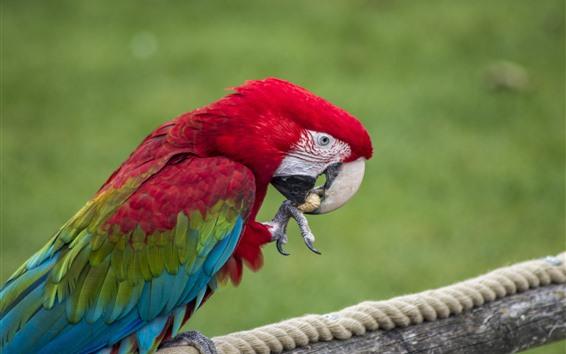 Papéis de Parede Papagaio, comer, amendoim
