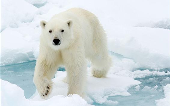 Papéis de Parede Olhar do urso polar em você, face, neve