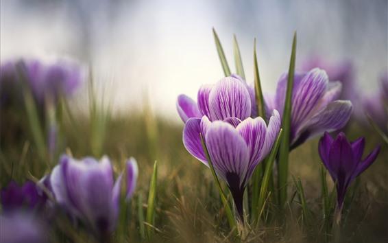 壁紙 紫のクロッカス、花びら、ボケ