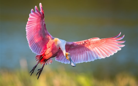 Wallpaper Roseate spoonbill, flight, wings