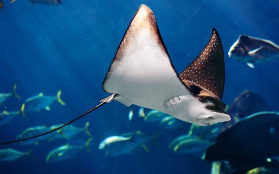 Обои Морское животное, рыба манта