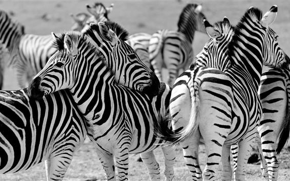 Wallpaper Some zebras, Africa
