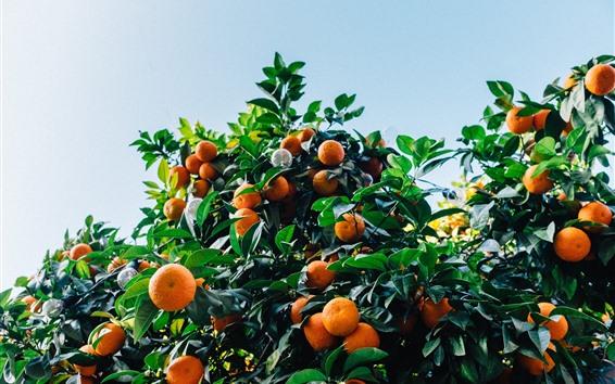 Wallpaper Tangerines tree, harvest