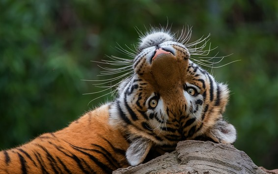 Wallpaper Tiger rest, look back, head