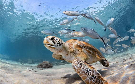 Wallpaper Turtle and fish, sea, underwater